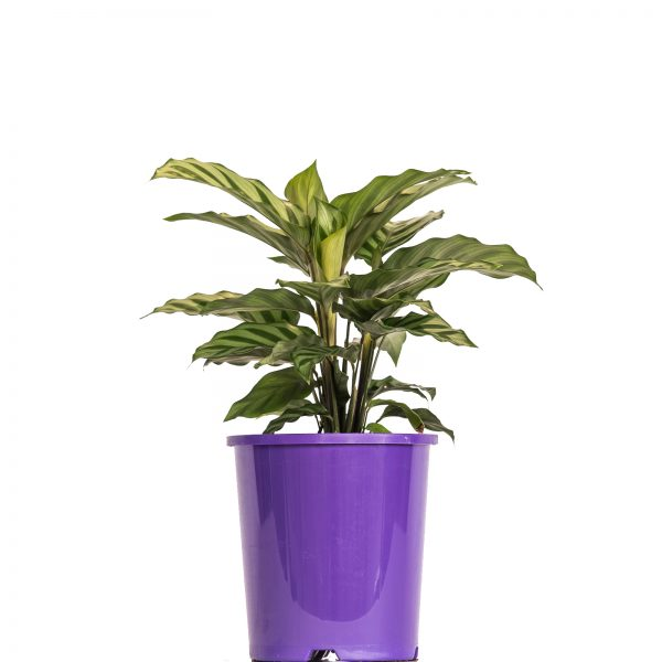 Calathea Freddy 140mm - Palmwood Tropicals Australian Wholesale Plant Nursery