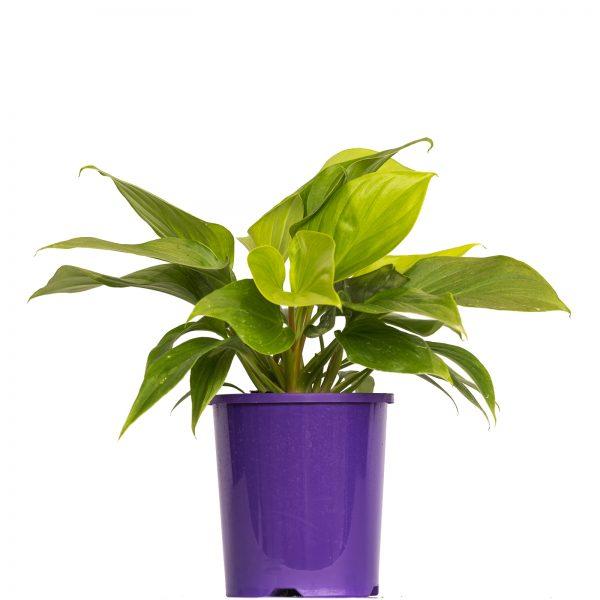 Homalomena Glory Gem 140mm - Palmwood Tropicals Australian Wholesale Plant Nursery