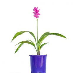 Curcuma Ginger 100mm
