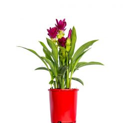 Curcuma Thai Beauty Pink