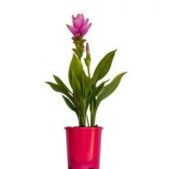 Curcuma Thai Beauty Red