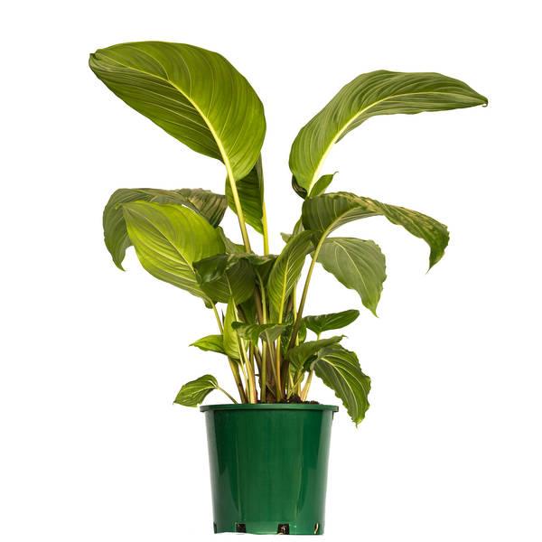 Palmwood Tropicals Australian Wholesale Plant Nursery Tacca Black 200mm-1