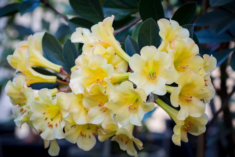 Vireya Meadow Yellow
