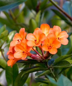 Vireya Orange Way