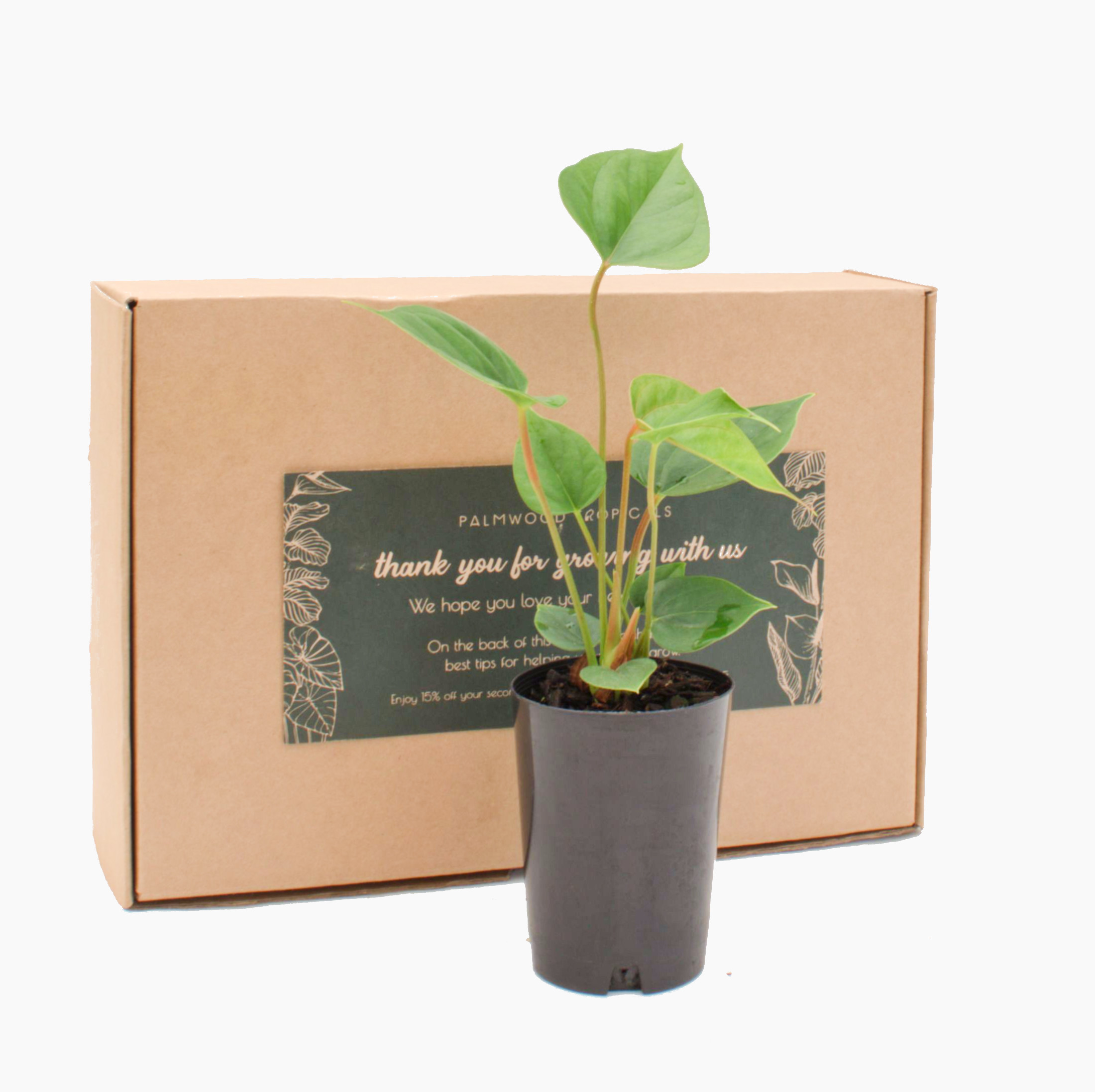 Palmwood Tropicals Online Plants - One Plant Box Angle