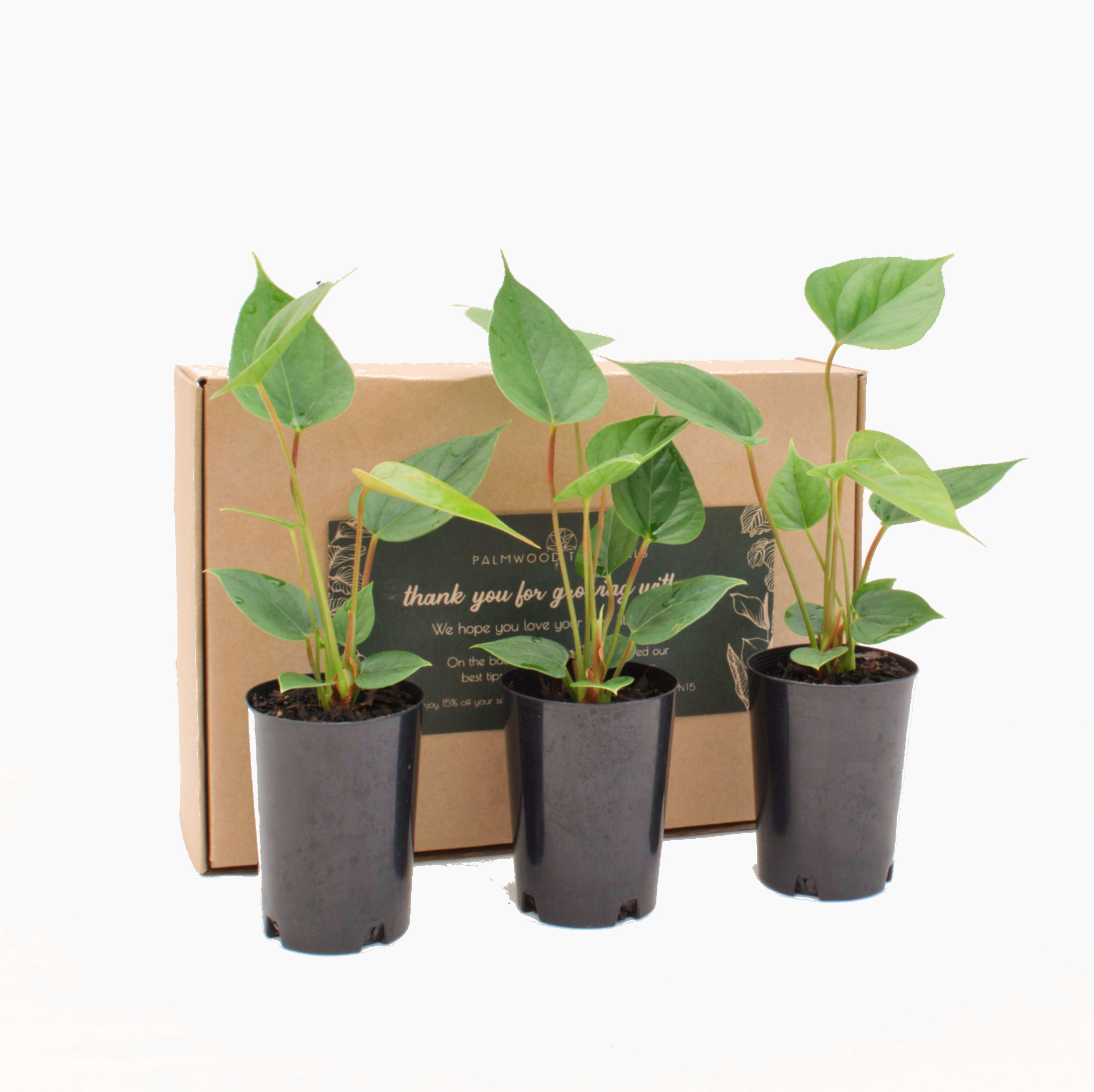 Palmwood Tropicals Online Plants - Three Plant Pack Angle