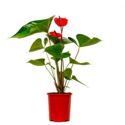 Anthurium 140mm