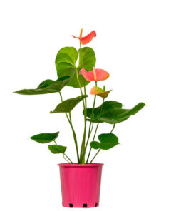 Anthurium Rose Blush