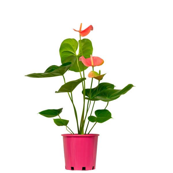 Anthurium Rose Blush