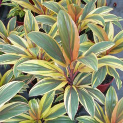 Cordyline Early Morning Diamond