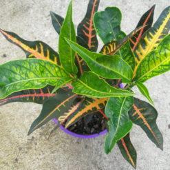 Croton Elaine