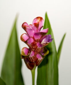 Curcuma Candy Stripe