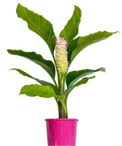 Curcuma Cordata Giant Pink