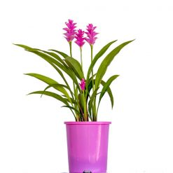 Curcuma Red Beauty