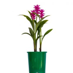 Curcuma Rose Tulip