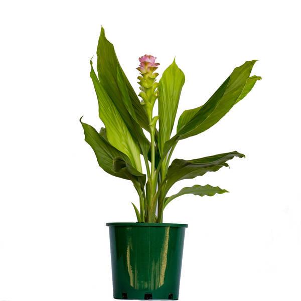 Curcuma Siam Pink
