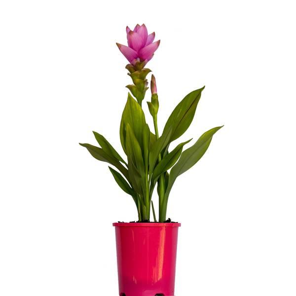 Curcuma Thai Beauty Red