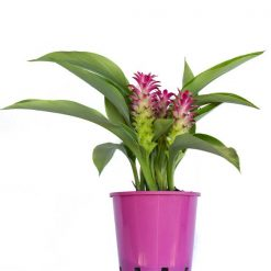 Curcuma Voodoo Magic