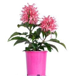 Jacobinia Carnea Pink