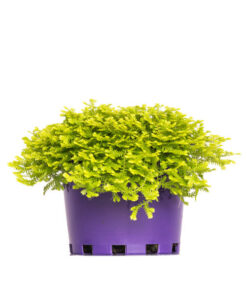 Selaginella Electric Blue Hanging Basket
