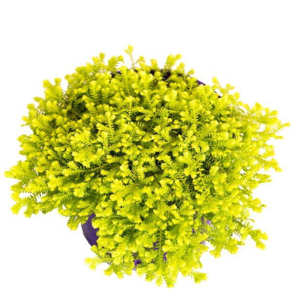 Selaginella Electric Lime Hanging Basket