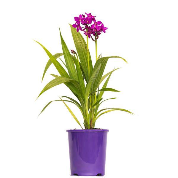 Spathoglottis Purple Passion