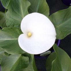 Zantedeschia Aethiopica Santa