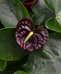 Anthurium Black Queen