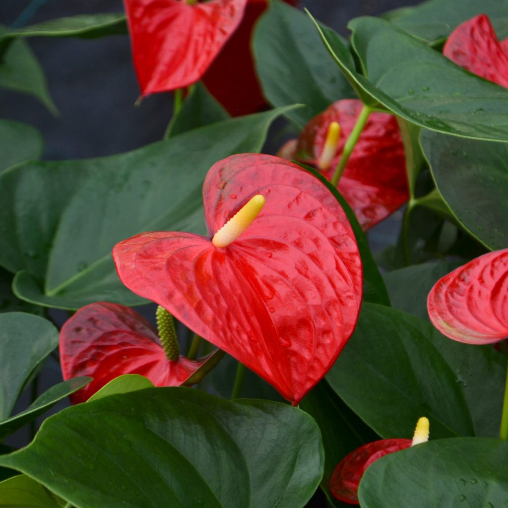 Anthurium King Of Hearts