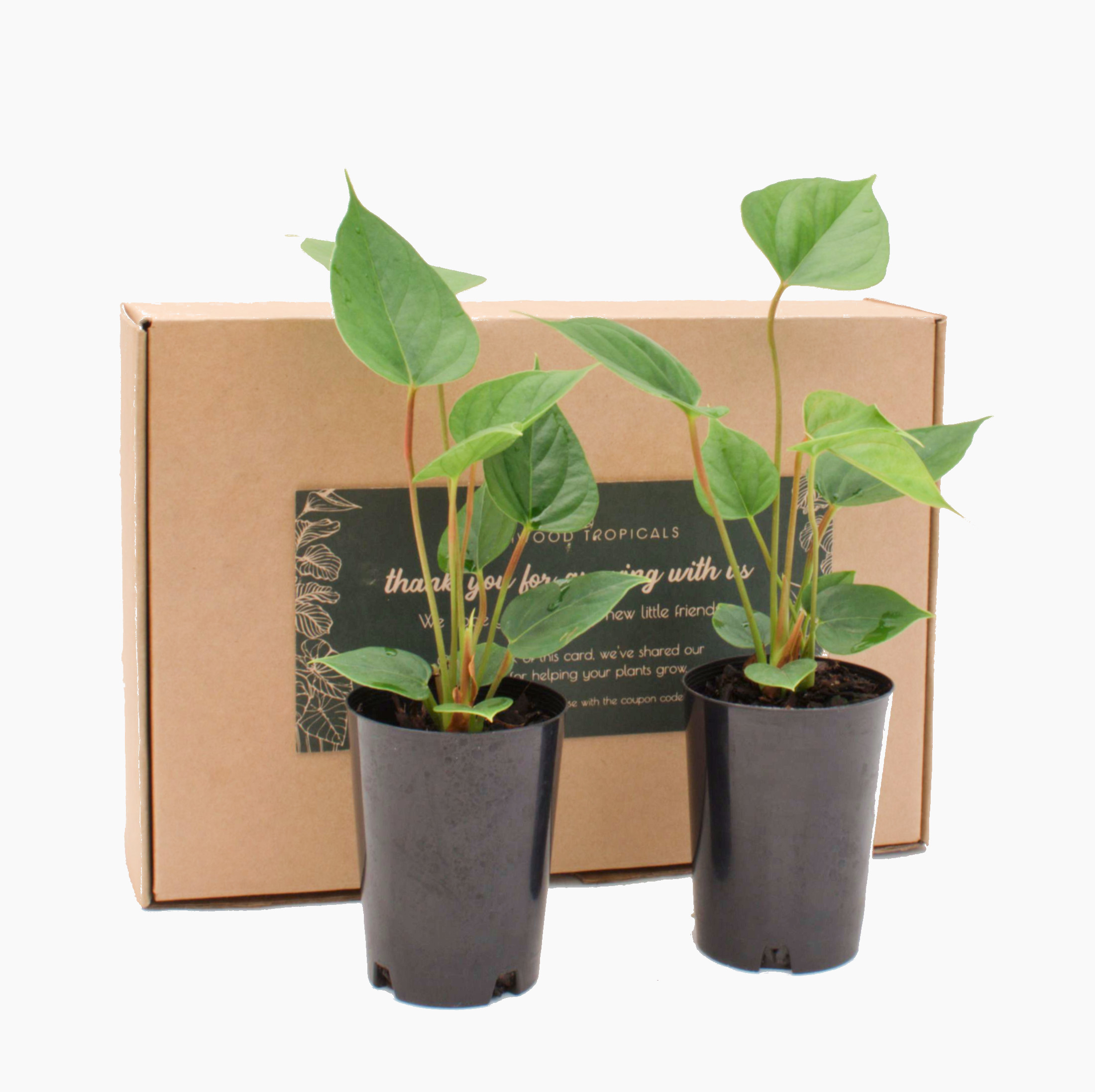 Palmwood Tropicals Online Plants - Two Plant Pack Angle
