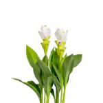 Palmwood-Tropicals-Australian-Wholesale-Plant-Nursery-Curcuma-Ginger- Miss Pearljpg