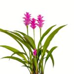Palmwood-Tropicals-Australian-Wholesale-Plant-Nursery-Curcuma-Ginger- Pink Pearl