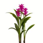 Palmwood-Tropicals-Australian-Wholesale-Plant-Nursery-Curcuma-Ginger- Rose Pearl -2