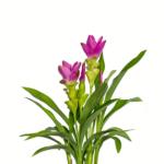 Palmwood-Tropicals-Australian-Wholesale-Plant-Nursery-Curcuma-Ginger- Thai Bea Pink